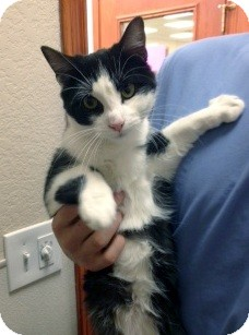 Domestic Shorthair Cat for Sale in Arlington, Texas - Tom