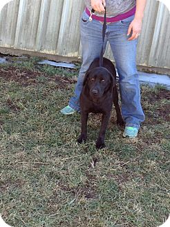 Labrador Retriever Mix Dog for adption in noel, Missouri - Freedom