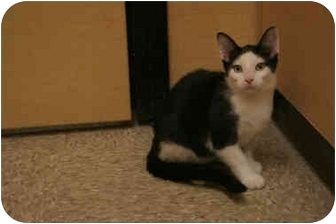 Domestic Shorthair Cat for Sale in Orlando, Florida - Pedro
