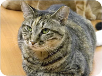 Domestic Shorthair Cat for adoption in Naples, Florida - Bella