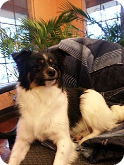 Papillon/Terrier (Unknown Type, Small) Mix Dog for Sale in Harrisonburg, Virginia - PePe'