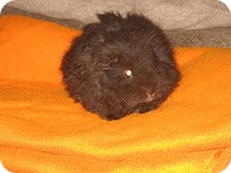 Guinea Pig for Sale in johnson creek, Wisconsin - Romeo