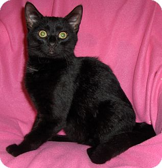 Domestic Shorthair Kitten for Sale in Richmond, Virginia - Carlos