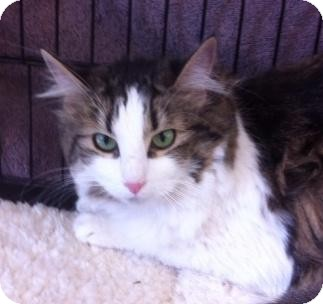 Domestic Longhair Cat for adoption in Sacramento, California - Isabell W