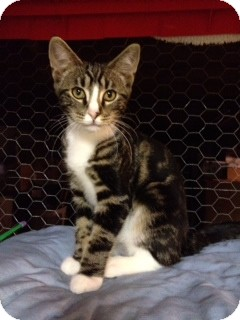 Domestic Shorthair Kitten for adoption in Hyde Park, New York - Nathaniel