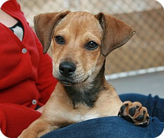 Dachshund Mix Dog for Sale in san antonio, Texas - Orbison