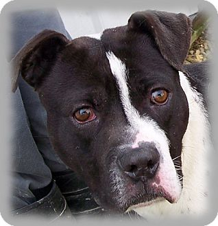 American Pit Bull Terrier/American Bulldog Mix Dog for adption in Brookville, Indiana - Carlson