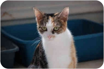 Calico Cat for adoption in Grafton, West Virginia - Polly