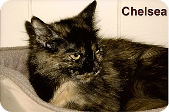 Domestic Mediumhair Cat for adoption in Medway, Massachusetts - Chelsea