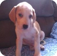 Hound (Unknown Type) Mix Puppy for Sale in Richmond, Virginia - Boots