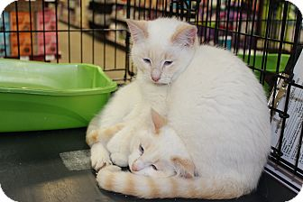 Siamese Kitten for Sale in santa monica, California - Mushu