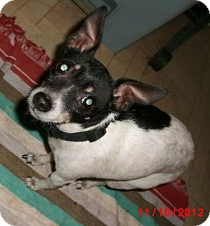 Rat Terrier Mix Dog for Sale in Germantown, Maryland - MInnie