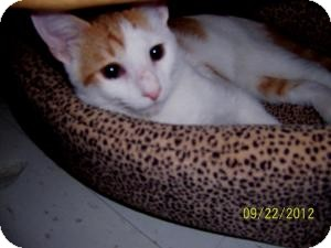 Domestic Shorthair Cat for Sale in Oceanside, New York - Rusty