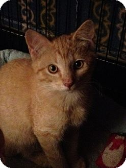 Domestic Shorthair Cat for Sale in Wenatchee, Washington - Pumpkin!