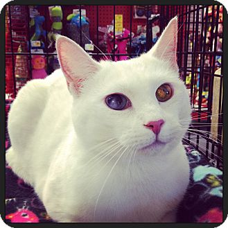 Domestic Shorthair Cat for adoption in Great Mills, Maryland - Ellington