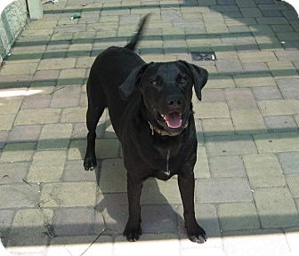 Labrador Retriever Mix Dog for Sale in Torrance, California - TONY