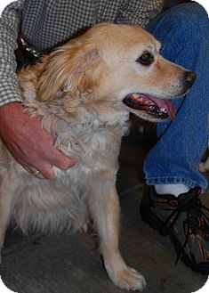 Golden Retriever Mix Dog for Sale in Loudonville, New York - Chester