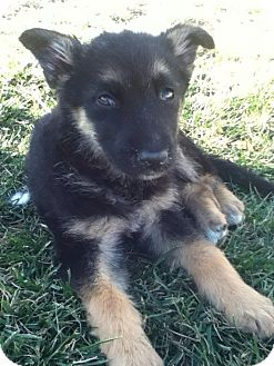 German Shepherd Dog Mix Puppy for Sale in Torrance, California - CINDY