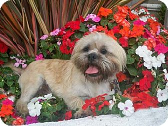 Lhasa Apso/Terrier (Unknown Type, Small) Mix Dog for Sale in Los Angeles, California - BRUT