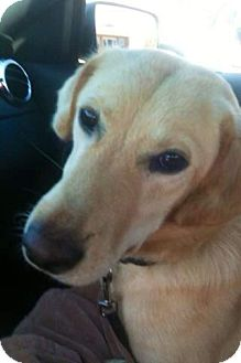 Labrador Retriever Mix Dog for Sale in Chattanooga, Tennessee - Allie