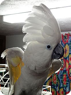 Cockatoo for Sale in Shawnee Mission, Kansas - Halo