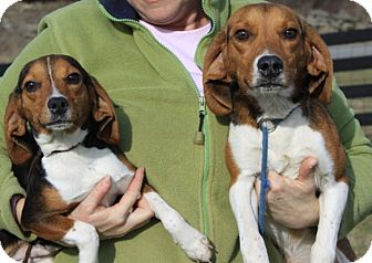 Beagle Mix Dog for Sale in Sparta, New Jersey - Minnie