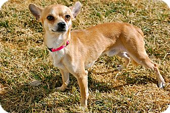 Chihuahua Mix Dog for Sale in Meridian, Idaho - Taos