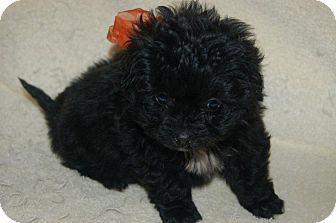 Poodle (Standard)/Dachshund Mix Puppy for Sale in Hazard, Kentucky - Lola