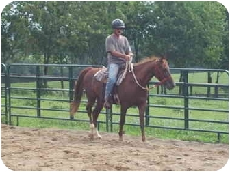 Saddlebred Mix for Sale in Nicholasville, Kentucky - Markey