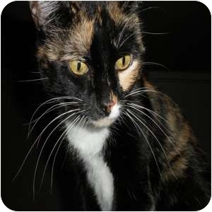 Domestic Shorthair Cat for adoption in Phoenix, Arizona - Ingrid