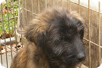 Terrier (Unknown Type, Medium)/Terrier (Unknown Type, Small) Mix Puppy for Sale in manasquam, New Jersey - Louie