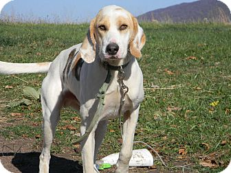 Hound (Unknown Type) Mix Dog for adption in Slanesville, West Virginia - N8