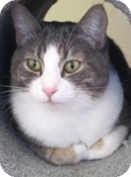Domestic Shorthair Cat for Sale in Prescott, Arizona - Timmy