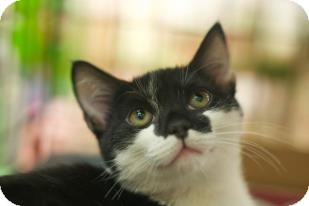 Domestic Shorthair Kitten for adoption in New York, New York - Batman