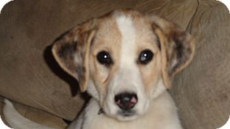Australian Shepherd Mix Puppy for Sale in Columbus, Georgia - Charlie