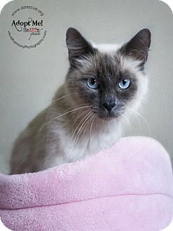 Siamese Cat for Sale in Phoenix, Arizona - Lauren