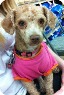 Poodle (Miniature) Dog for Sale in Studio City, California - Apricot