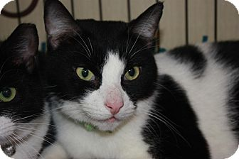Domestic Shorthair Cat for adoption in Little Falls, New Jersey - Oreo (MP)
