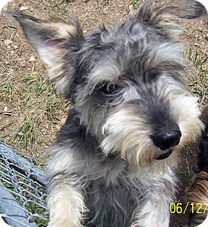 Schnauzer (Miniature) Dog for Sale in Washburn, Missouri - Charlie