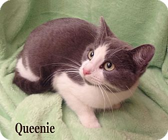 Domestic Shorthair Cat for Sale in Bentonville, Arkansas - Queenie