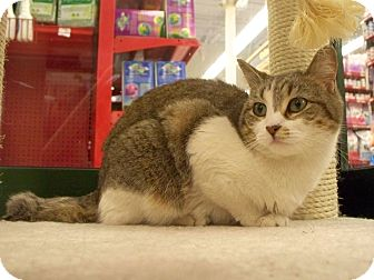 Domestic Shorthair Cat for Sale in Fountain Hills, Arizona - PENELOPE