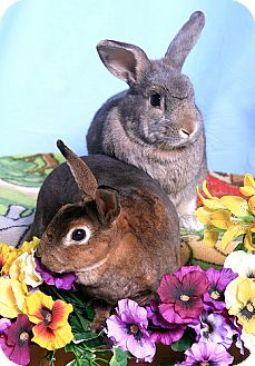 Mini Rex Mix for adoption in Little Rock, Arkansas - Ellie and RP