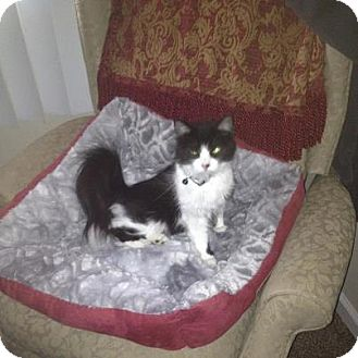 Domestic Mediumhair Kitten for Sale in Oxford, Connecticut -