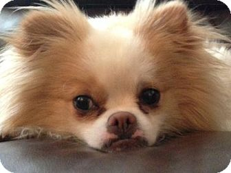 Pomeranian/Pekingese Mix Dog for adption in Bridgeton, Missouri - Leo