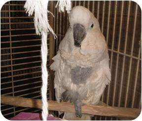 Cockatoo for adoption in Creston, Illinois - Fred