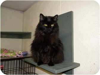 Domestic Mediumhair Cat for adoption in Bartlett, Illinois - Shadow