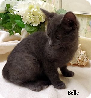 Domestic Shorthair Kitten for Sale in Bentonville, Arkansas - Belle