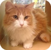 Domestic Mediumhair Cat for Sale in Modesto, California - Wholly