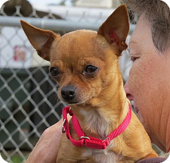 Chihuahua Mix Dog for Sale in Georgetown, Texas - Emma