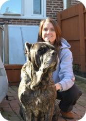 Cane Corso Dog for Sale in Marlton, New Jersey - Molly